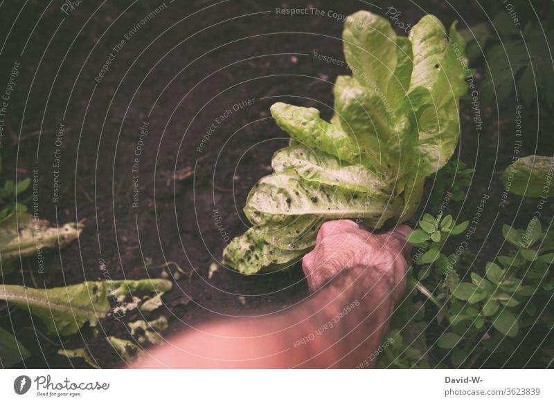 Mann erntet Salat und greift mit der Hand danach Ernte ernten hand pflücken schneiden Boden erde anpflanzen selbstversorger Gewächshaus Erdboden gesund