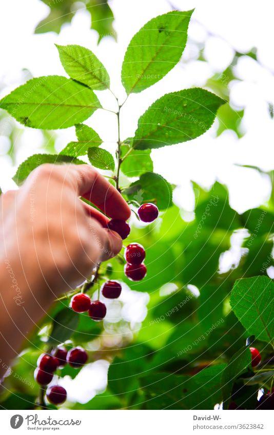 reife Kirschen werden vom Baum gepflückt kirschen pflücken hand Kirschenrot gesund Vitamine vitaminreich lecker saftig frisch ernten Ernte selbstversorger