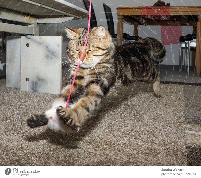 Kater Felix beim Spielen Katze Katzer Springen Tiere Beschäftigung Katzen Tiger getigert Spaß Tierhaltung Katzenhaltung Fell Freund flauschig