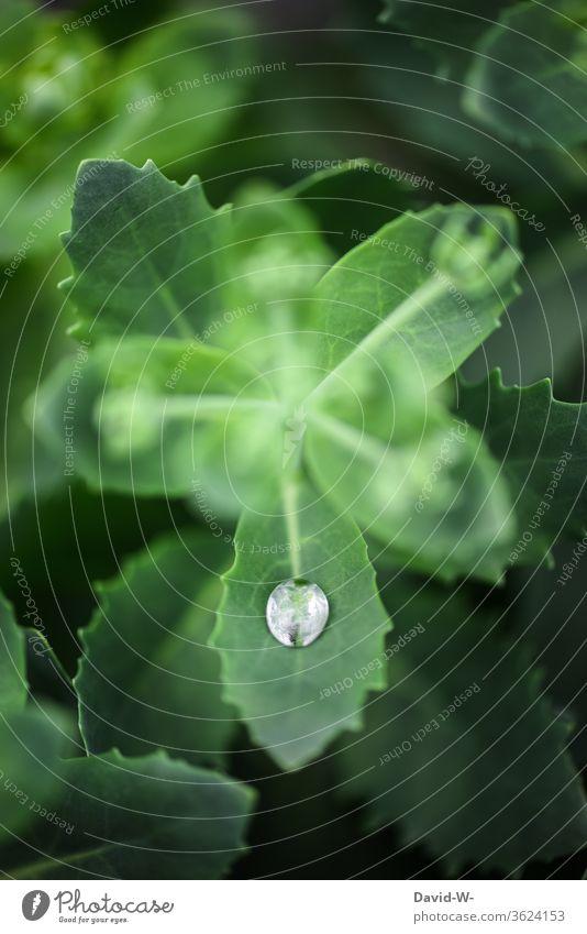 ein einzelner Regentropfen auf einem Blatt Pflanze nass Wasser fein Detail Detailaufnahme kanppheit Dürre Grünpflanze grün Natur Tropfen Wassertropfen