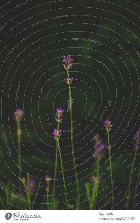 Lavendel - einer sticht heraus Blumen Pflanze Blüte violett Duft Sommer Natur grün Farbfoto dunkel größe wachstum unterschiedlich klein und groß der größte