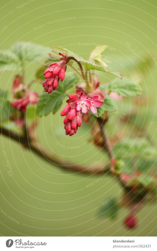 Plume Sommer Blume Sträucher Blatt Blüte Grünpflanze Wildpflanze schlafen verblüht grün rosa rot verschlafen schön Zweig Farbfoto Textfreiraum oben