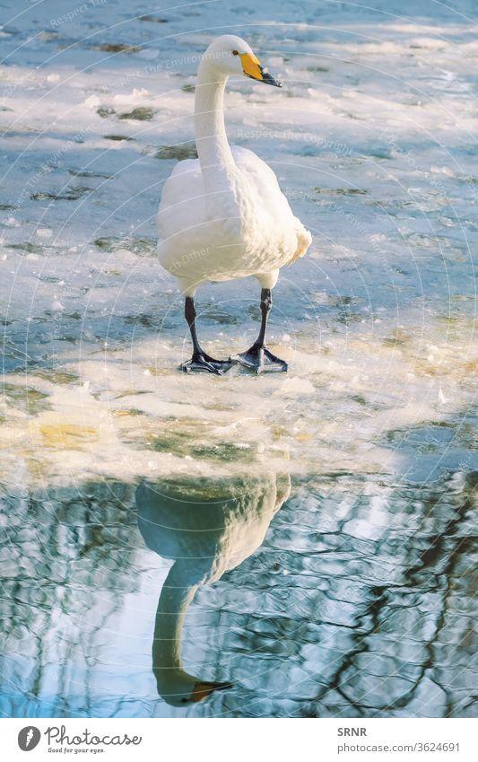 Schwan auf Eis Tier Vogel Vogelwelt Schnabel Rechnung Kolben Cob-Swan kalt Fauna gefiedert federleicht Frost frostig gefroren Winterschlaf eisbedeckt gehockt