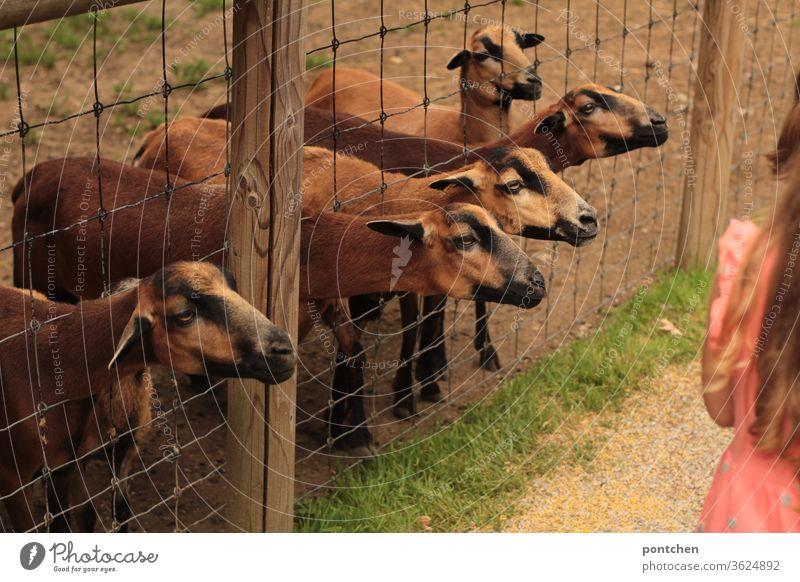 Fünf braune ziegen strecken ihre Köpfe durch einen maschendrahtzaun und wollen gefüttert werden. Am Rand steht in einiger Entfernung ein Mädchen. Hunger, gierig. Wildpark