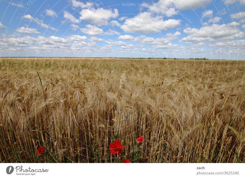 7 Tage durch Brandenburg - Feldstudie Ackerbau Landwirtschaft Gerste Gerstenfeld Getreide Getreidefeld Weizen Weizenfeld gelb blau Himmel Blauer Himmel Wolken