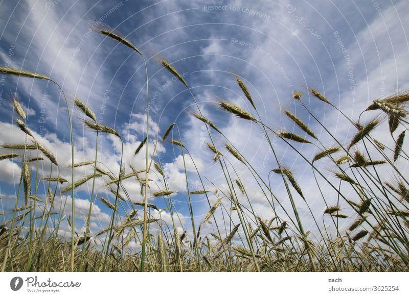 7 Tage durch Brandenburg - Froschperspektive Feld Ackerbau Landwirtschaft Gerste Gerstenfeld Getreide Getreidefeld Weizen Weizenfeld gelb blau Himmel