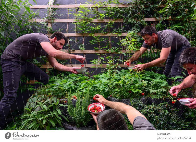 Erntezeit im Erdbeerbeet - Mann erntet Erdbeeren Erdbeerzeit Frucht Leckerbissen schön Beerenfrucht obstsorten ertrag ertragreich Sammler Sommertag sommerlich