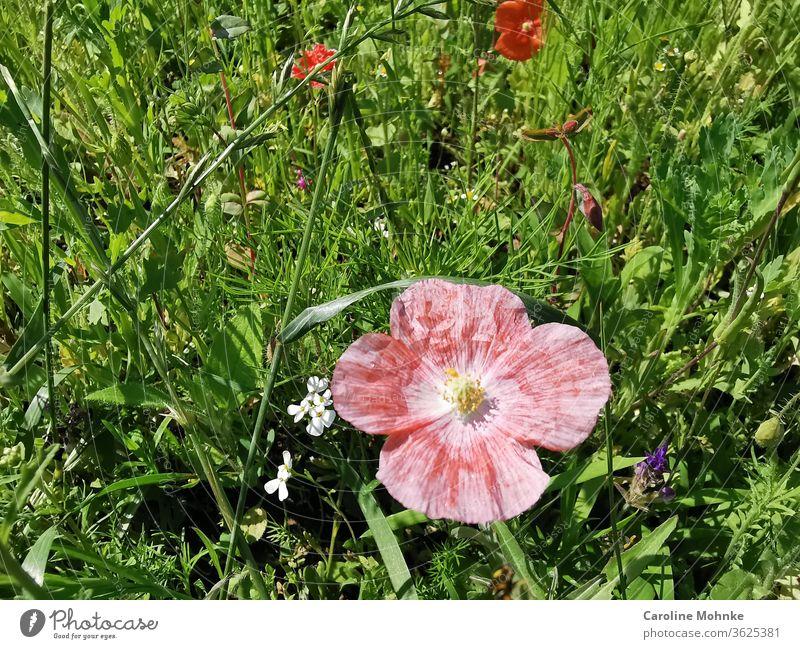 Rote Sommerblume in einer Blumenwiese sommer sommerpracht blühen Pflanze Natur Blüte Frühling Blühend Farbfoto Garten grün Außenaufnahme schön Nahaufnahme