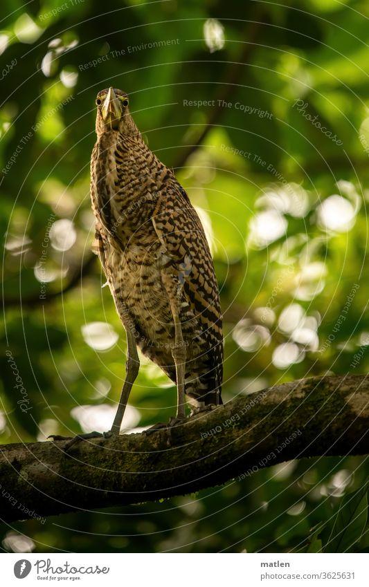 kräftiger Tigerreiher Baum laub Wald Außenaufnahme Vogel tierportrait Ganzkörper wildlife lauern beobachten Natur Blick Baumbrüter Wildtier Nacktkehlreiher