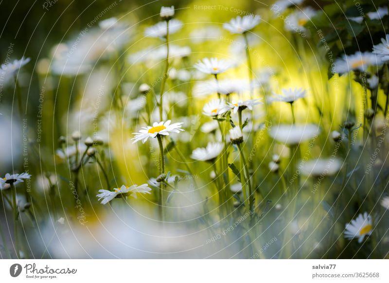 Margeritenwiese Blumenwiese Sommer Natur Pflanze Blüte Wiese Blühend Frühling Duft Schönes Wetter Außenaufnahme Lebensfreude hell Lichtstimmung Farbfoto