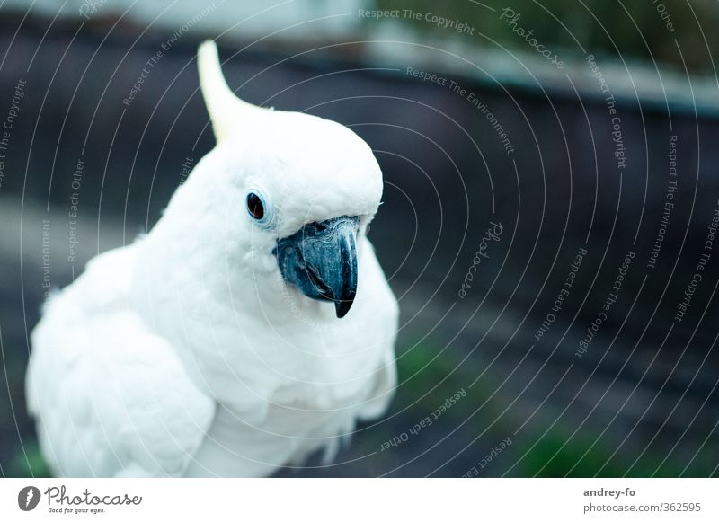 Papagei. Natur schön weiß Tier Vogel elegant Feder weich Sauberkeit Kreativität Bildung Zoo exotisch Schnabel klug schick