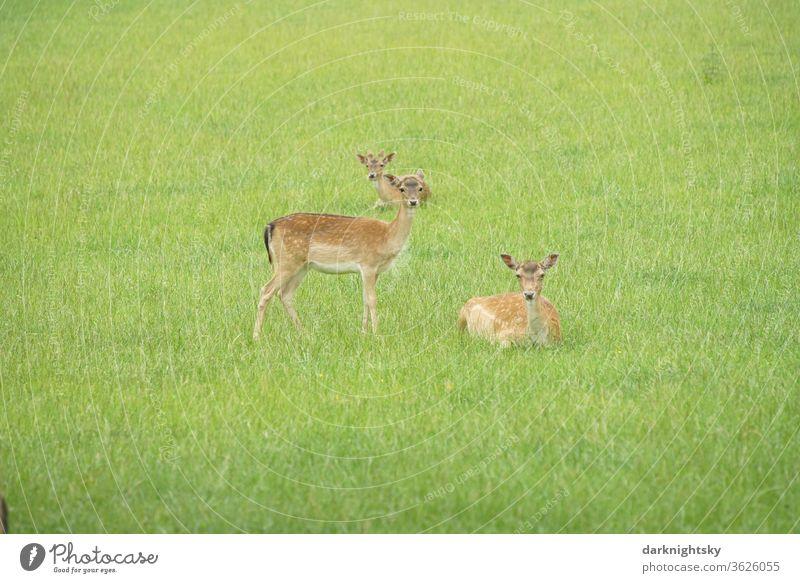 Rehwild Wild auf einer Wiese rhe Damwild Außenaufnahme Farbfoto Natur Hirsche Wildtier Tier Säugetier Umwelt Tierporträt Blick Wald Menschenleer grün frisch
