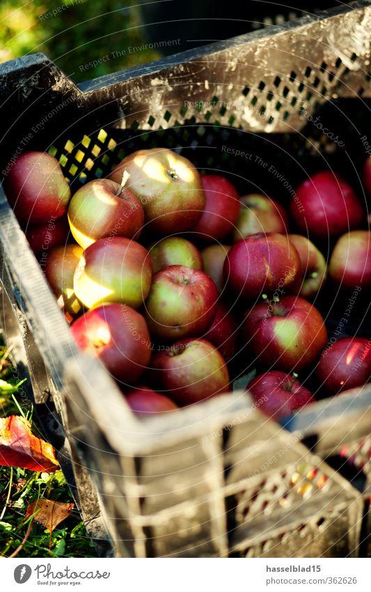 Apfelernte kaufen Glück Zufriedenheit Sinnesorgane ruhig Duft Freizeit & Hobby Ferien & Urlaub & Reisen Tourismus Abenteuer Freiheit Sommer Umwelt Natur Tier