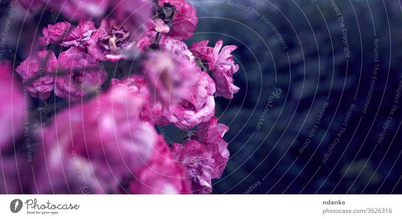 Zweig mit blühenden rosa Rosenknospen und grünen Blättern, Banner hell Blumenstrauß Überstrahlung frisch Hintergrund schön Schönheit Blütezeit Buchse