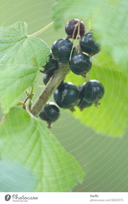 Vitamin C  frisch und erntereif schwarze Johannisbeeren Cassis Johannisbeerstrauch Fruchtstand Früchte gesund Beeren Gesunde Ernährung Bioprodukte Gesundheit