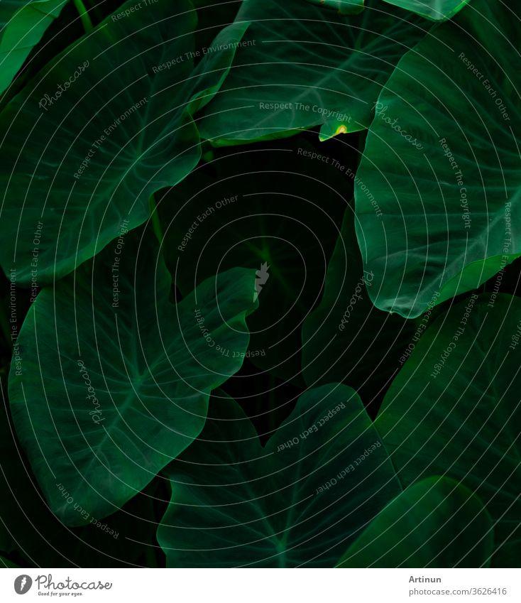 Grüne Blätter von Elefantenohren im Dschungel in Nahaufnahme. Hintergrund mit grüner Blatttextur und minimalem Muster. Grüne Blätter im Tropenwald auf dunklem Hintergrund. Grüne Tapete. Botanischer Garten