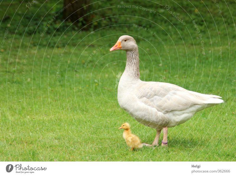 AST6 Inntal | Mutter und Kind... Umwelt Natur Tier Frühling Schönes Wetter Gras Wiese Haustier Nutztier Gans Gössel Küken 2 Tierjunges Tierfamilie Blick stehen