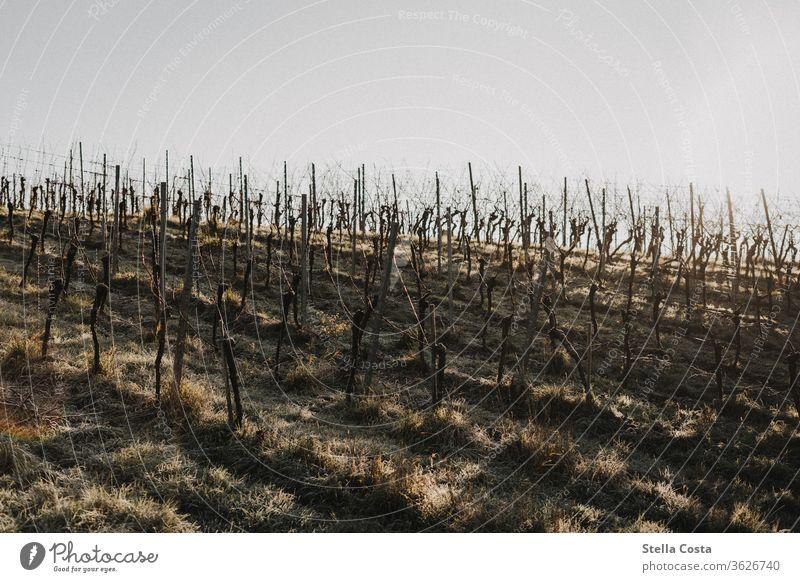 Weinberg im Winter Arbeiten im Weinberg Winzer bei der Arbeit Ökologisch Rebschnitt Natur Nahaufnahme Hand Detailaufnahme Jahreszeit Tag Herbst Nutzpflanze