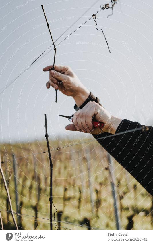 Rebschnitt im Weinberg im Winter Winzer Weinbau Weinanbau Außenaufnahme Weingut Farbfoto Landwirtschaft Nutzpflanze Herbst Tag Jahreszeit Natur Nahaufnahme Hand