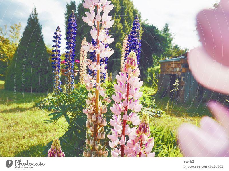 Um die Wette Außenaufnahme Natur Pflanze Blume Menschenleer Blühend Tag Blüte Umwelt Farbfoto Garten mehrfarbig Frühling grün Lupine Sonnenlicht Idylle