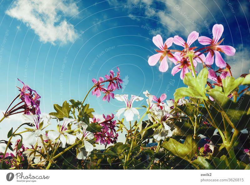 Balkonbild Balkonpflanze Himmel Wolken Luft Blüte Blume Schönes Wetter Topfpflanze Pflanze Natur Wachstum glänzend nah Leben standhaft Hoffnung Idylle Farbfoto