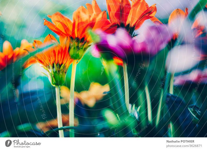 Nahaufnahme der bunten Gerbera im Frühling im Garten Blumen Gartenpflanzen farbenfroh pulsierend Frühlingsblume Frühlingsfarbe Lebendige Farbe hell orange rosa