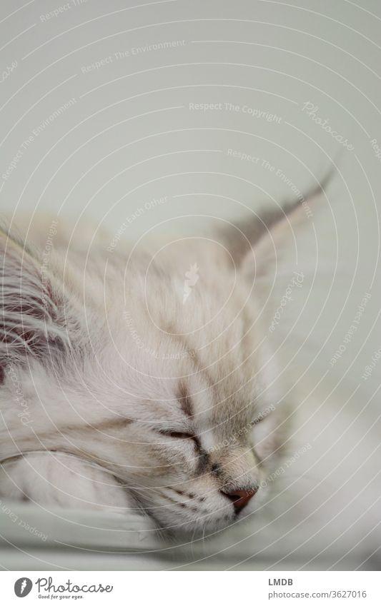 Schlafende junge Katze Katzenbaby kitten Fell weißhaarig Tierporträt schlafend schlafende Katze Haustier Katzenfutter Kuscheln fluffig weich getiegert ruhen