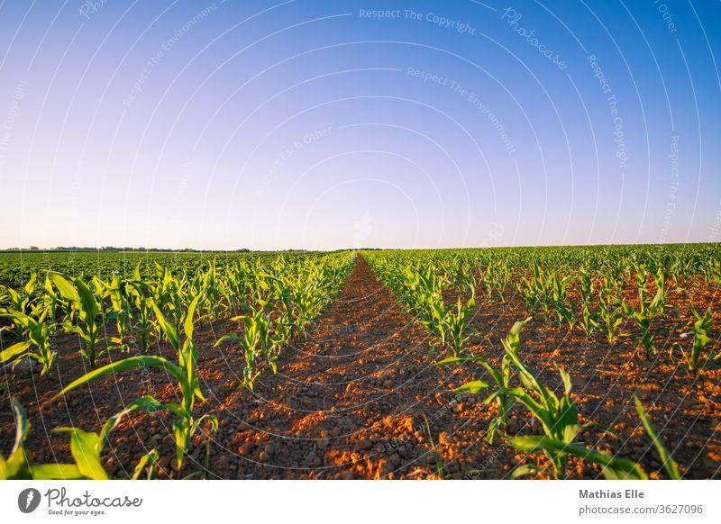 Ackerfläche mit jungem Mais Feld Natur Landschaft Reifezeit Stimmung Abenddämmerung schön Mitte orange Maisfeld Farbverlauf ruhig grün Pflanze Umwelt Wachstum