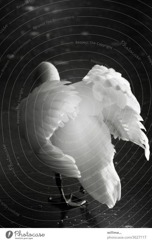 ich bin so schön, ich bin so toll Schwan Schwarzweißfoto Schönheit Ästhetik Flügel mein lieber Schwan Höckerschwan Gefieder Angeber Schwanenvögel Vogel elegant