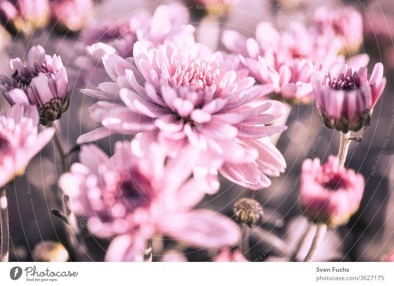 Lila Blumen blühen auf einer Wiese astern blumen lila blüten frisch violett frühling sommer rot natur blumig grün garten blütenblatt pflanze rosa schönheit