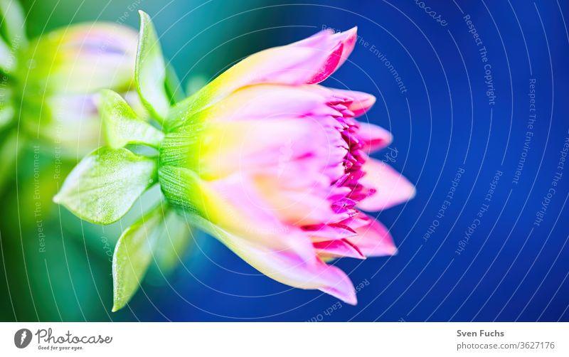 Eine Aster vor einem strahlend blauem Himmel astern blumen lila blüten blühen frisch violett frühling sommer rot natur blumig grün garten blütenblatt pflanze