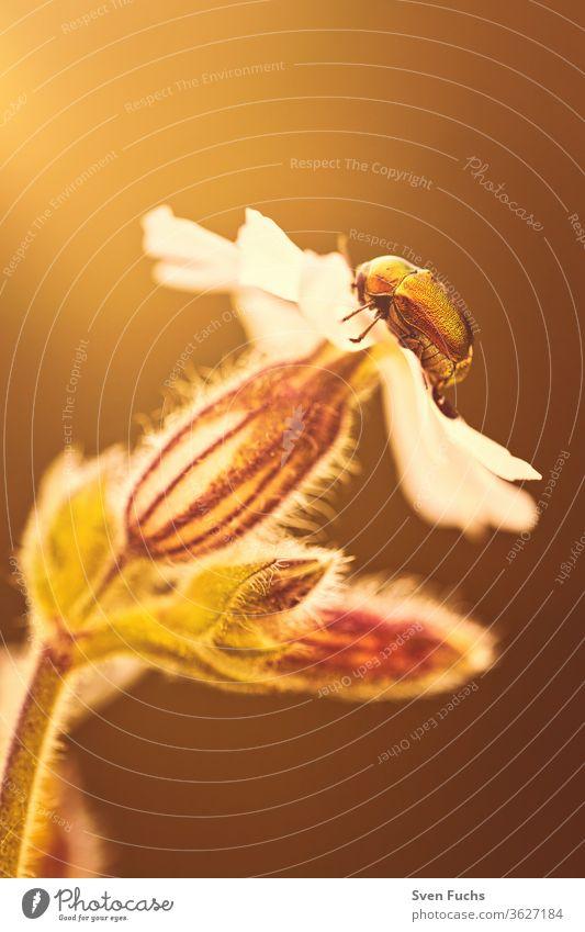 Ein glänzender Fallkäfer sitzt auf einer Blüte fallkäfer goldglänzend insekt sonnenlicht sonnenstrahl gegenlicht leuchten blume ausruhen natur fauna