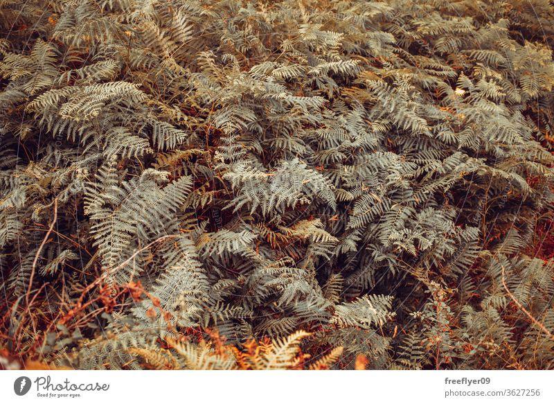 Wildfarn-Textur auf einem galizischen Wald schön Frühling hell Hintergrund Schönheit dunkel Sommer Licht Laubwerk Wand Pflanze Tapete Handfläche Ton natürlich