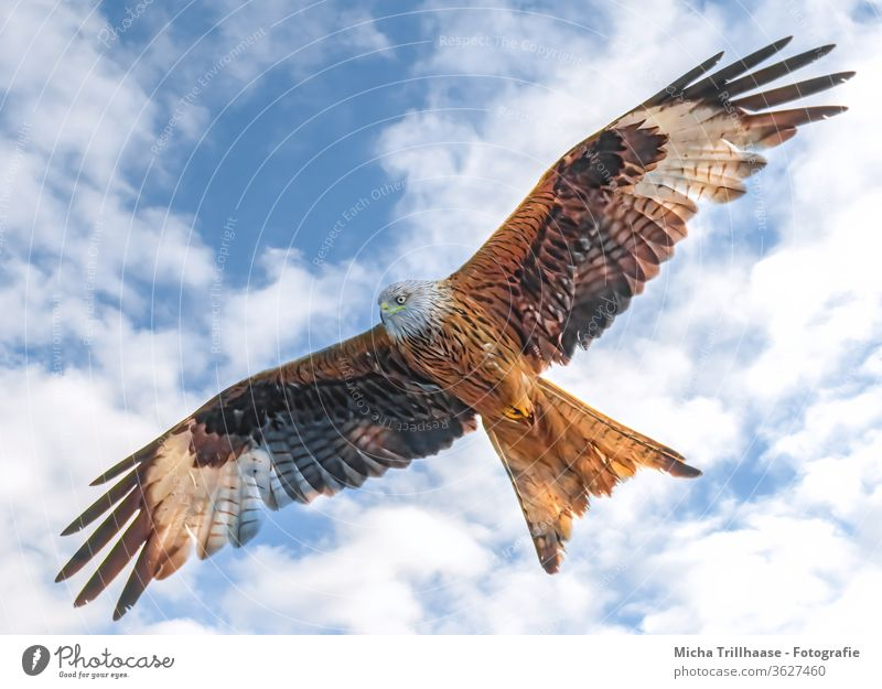 Rotmilan im Flug Roter Milan Milvus milvus Greifvogel Vogel im Flug Kopf Schnabel Auge Flügel Gefieder Federn Flügelspanne Flügelschlag Himmel Wolken Sonne
