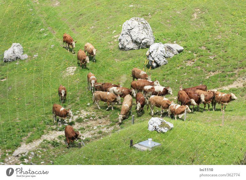 AST6 Inntal | Almauftrieb... Natur grün Pflanze Landschaft Tier Umwelt Berge u. Gebirge Wiese Leben Gras Frühling grau Felsen natürlich braun Zusammensein
