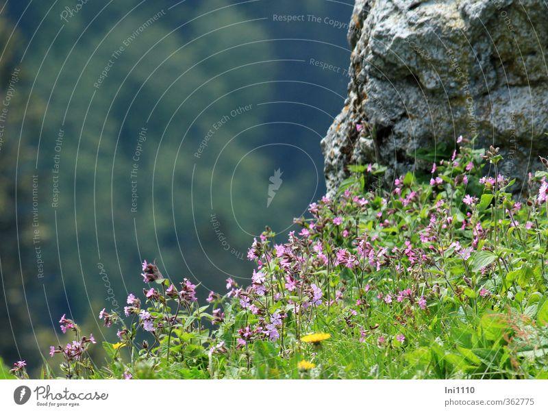 AST6 Inntal   Lichtnelke Umwelt Natur Landschaft Pflanze Sonnenlicht Frühling Schönes Wetter Blume Wiese Alpen Bewegung leuchten schaukeln stehen ästhetisch