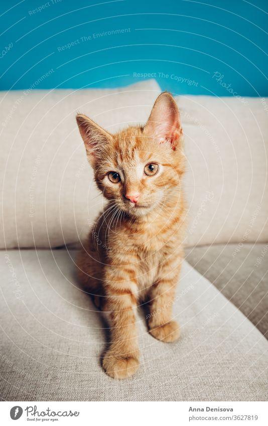 Süßes Ingwer-Kätzchen sitzt Katzenbaby niedlich sich[Akk] entspannen Sofa Wohnzimmer sitzen Haustier Baby manx schwanzlos kein Schwanz Bobtail heimwärts