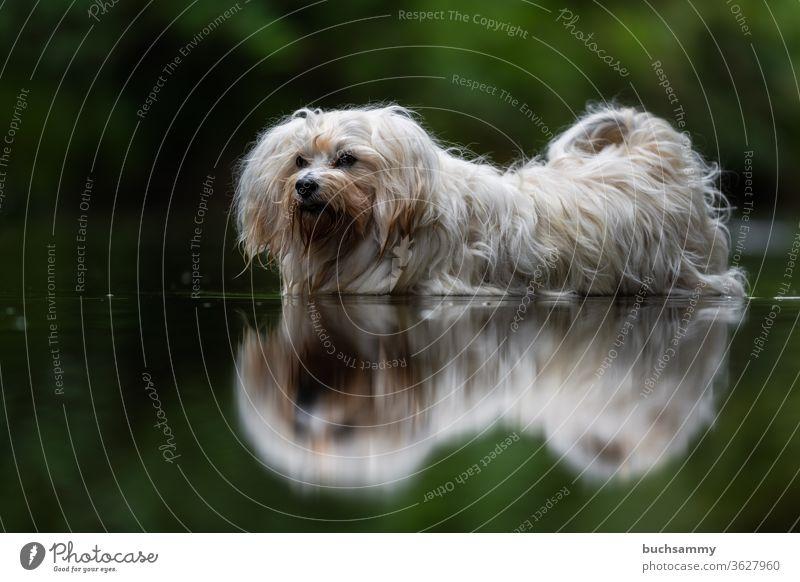 Hund steht im Wasser Bichon Havanais Haustier abkühlung havaneser hund baden Textfreiraum unten Im Freien Natur Langhaar süß klein wuschel flauschig Spiegelung