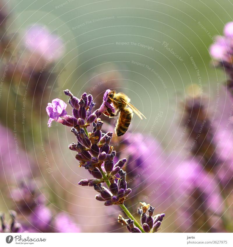 Biene an einer Lavendelblüte natur Pflanze Farbfoto Natur Außenaufnahme Sommer Blüte Blume Duft Blühend Garten Menschenleer Nahaufnahme fleißig Flügel