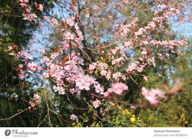 rosa Baumblüten im Frühlingslicht Fröhlichkeit frisch mehrfarbig Schwache Tiefenschärfe Tag grün Frühlingsfarbe Frühblüher aufblühen Frühlingstag Neuanfang