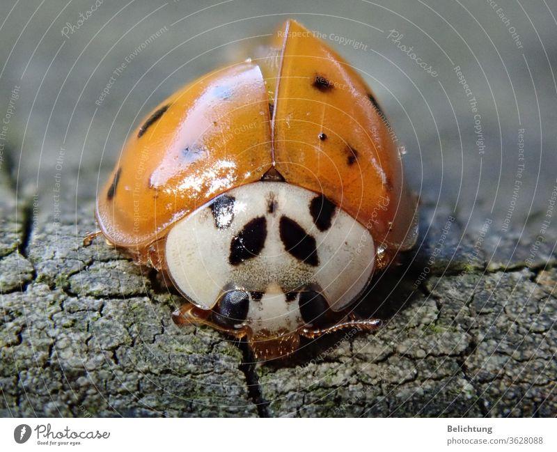 Marienkäfer Makro tiere Insekten Käfer Makroaufnahme