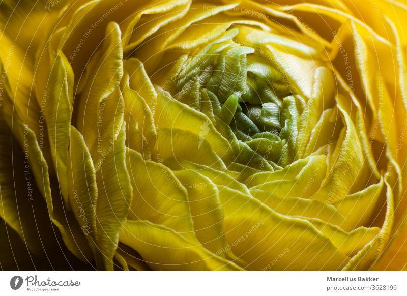 Blühende gelbe Ranunkulusblüte Ackerbau Blumen arrangieren Hintergrund schön Schönheit Überstrahlung Blüte botanica Blumenstrauß hell Blütenknospen Ranunkel