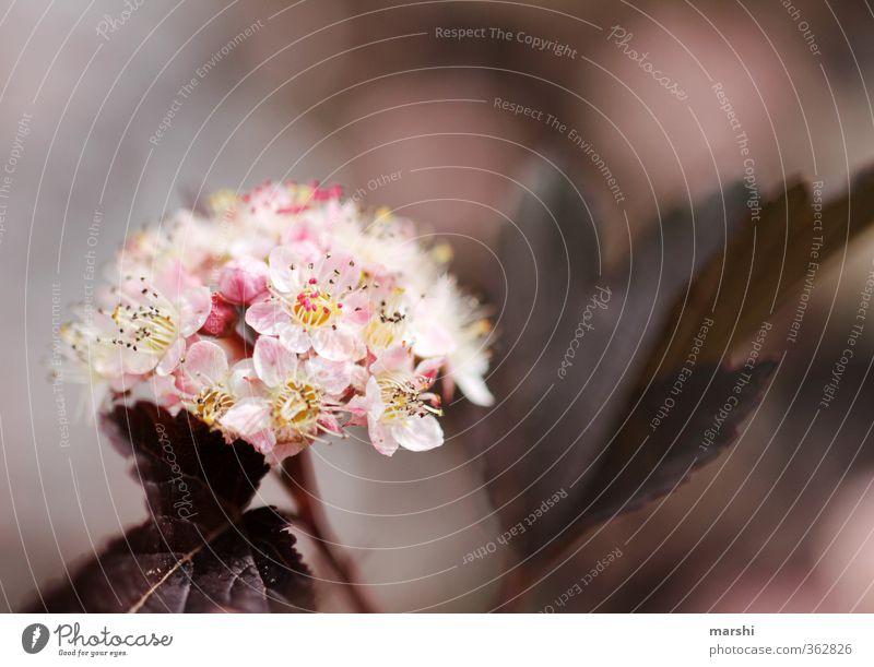 der Strauch des Teufels Natur Pflanze Blume Blatt Garten rosa Sträucher Blühend