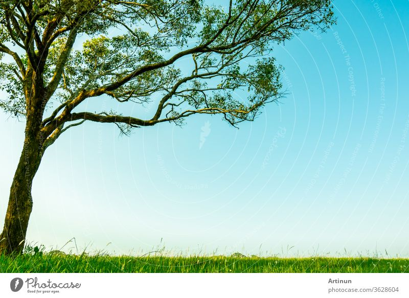 Großer grüner Baum mit schönem Astmuster und grünem Grasfeld mit weißen Blüten auf klarem blauen Himmelshintergrund an einem schönen Sonnenscheintag. Schatten