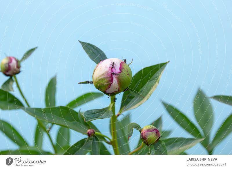 Schwarze Gartenameisen fressen Nektar an der Pfingstrosenknospe. Insektenschädlinge auf blühendem Blütenkopf auf blauem Hintergrund Ameise Schädling Blume Natur