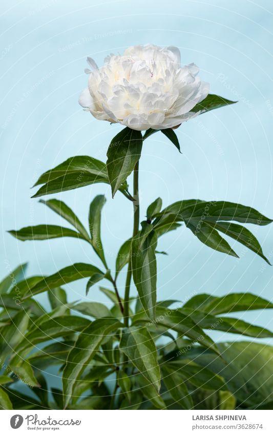 Weiß blühende Pfingstrosenblüte auf hellblauem Hintergrund. Schöner Knospenblütenkopf für Grußkarte, Kopierfeld Blume weiß schön Sommer natürlich Natur Blüte