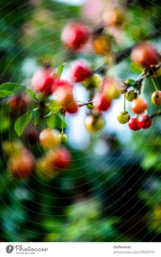 Kirschen in Nachbars Garten Kirschbaum Baum Sommer Frucht süß Ernte saftig Prunus lecker reif Gesundheit Lebensmittel Jahreszeiten Sauerkirsch organisch grün