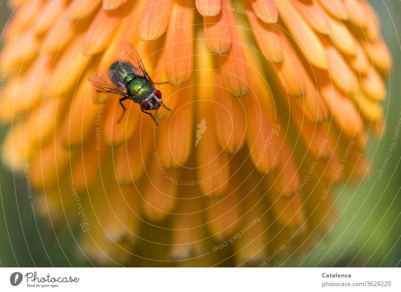 Die Goldfliege (Lucilia sericata) sitzt auf den orangenen Blüten der Kandelaber Aloe Flora Fauna Insekt Fliege Schmeißfliege Pflanze Sukkulente Natur Sommer