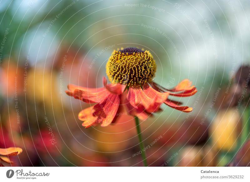 Die Blüte des rauen Sonnenhut tanzt im Garten Natur Flora Blume Falscher Sonnenhut Rudbeckia hirta blühen verblühen duften schönes Wetter Sommer Blumenbeet Gelb