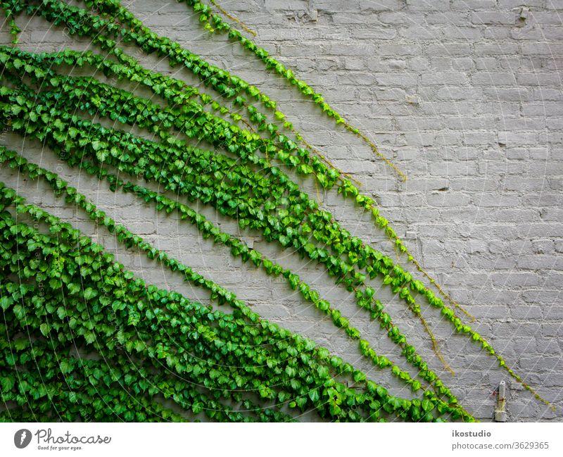 Efeu-Pflanze Wand Hintergrund Natur grün Baustein Textur Klettern Aufsteiger Kletterpflanzen alt natürlich Stein Botanik Tapete Design Muster